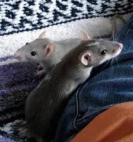 Rats by TheCrazedGazelle