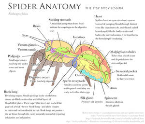 Science Fact Friday: Spider Anatomy by Alithographica