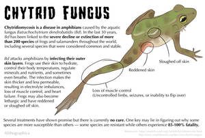 Science Fact Friday: Chytrid Fungus in Amphibians by Alithographica