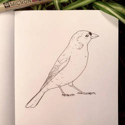 Inktober 26: Chaffinch by Alithographica