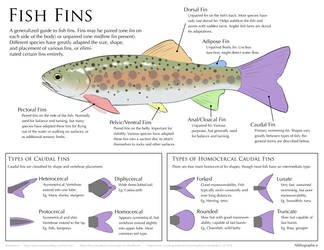 Science Fact Friday: Fish Fins by Alithographica