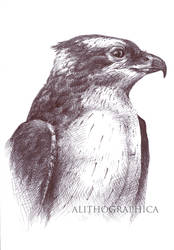 AMNH Osprey by Alithographica