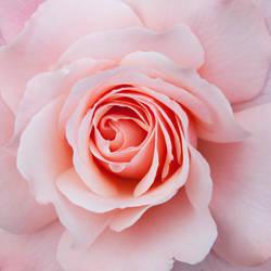 Pink rose 02 by Ceekay666