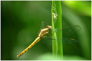 Dragonfly and white spider. by chinlop