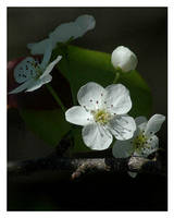Blooming white by chinlop
