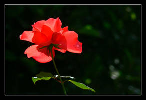 backlit rose by chinlop