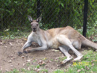 Kangaroo by snigglefritz98