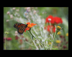 Monarch Butterfly by rcherwink