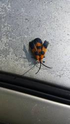 Banded Net-Winged Beetle by katakana-21