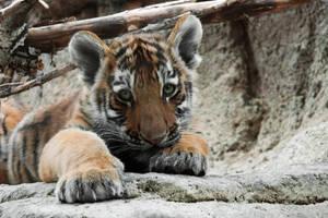 Tiger Cub by akeli