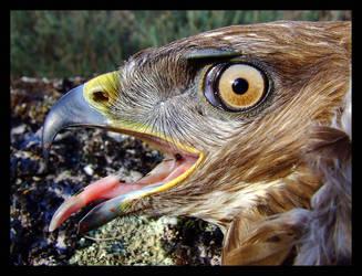 eagle by Lisovick