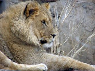 Juvenile Lion by brindlegreyhound