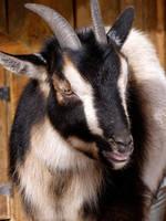 Goat by brindlegreyhound