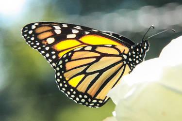 Butterfly by yuppy64