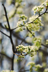 Pear Blossoms by sodaho