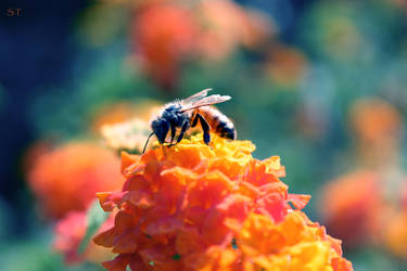 Honey Bee by st277
