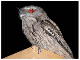 Tawny Frogmouth - 1 by Lilithia