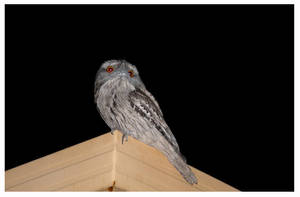 Tawny Frogmouth - 2 by Lilithia