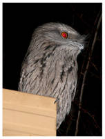 Tawny Frogmouth - 3 by Lilithia