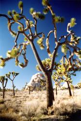Joshua Tree by commandax