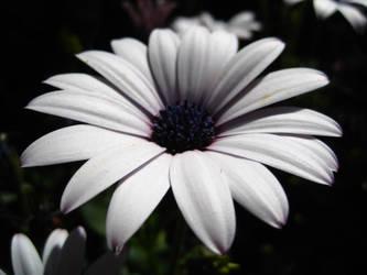 White daisy by mentedecadente