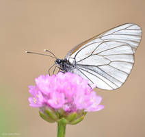 Butterfly8 by LisenaPirus
