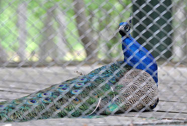 peacock by LisenaPirus