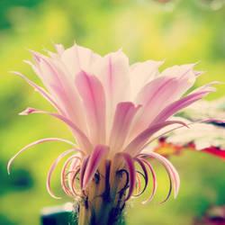 Cactus Flower by knueppel