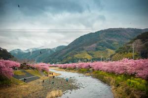 A river of Sakura by Belatheros