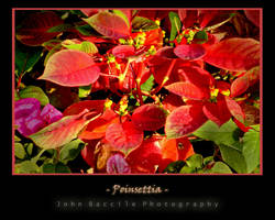 Poinsettia by barefootphotography