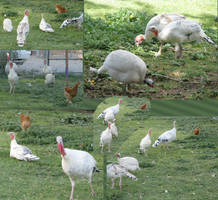 Turkey Family photos by EricMHE