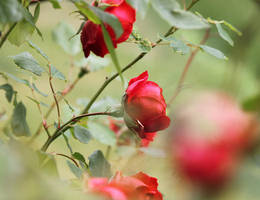 Red roses by meganjoy