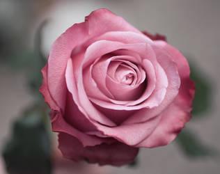 Rose II by meganjoy