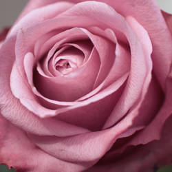 Rose III by meganjoy