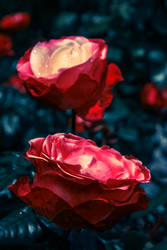 Roses are Red by Laama-Harakas