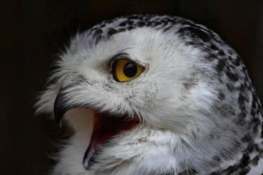 Screaming Snow owl by 19JulianHerbst95