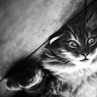 Wild cat by julie-rc