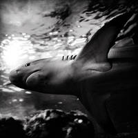Shark by julie-rc