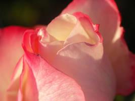Nostalgie Rose by AMPhitheatre