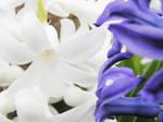Hyacinth Heaven by AMPhitheatre