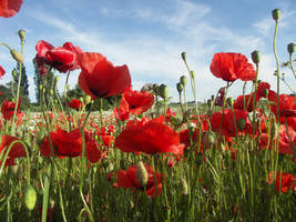 poppies galore by AMPhitheatre
