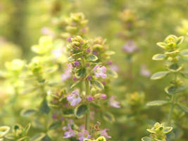 Thyme by AMPhitheatre