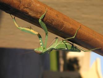 Praying Mantis by Alf-arobase