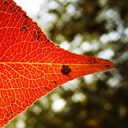 Last Leaf To The Hospital by minica