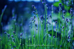 blue lavender. by lichtfaengerin