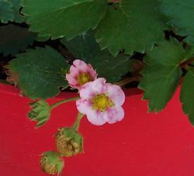 Strawberry Blossoms by BeestOBurden