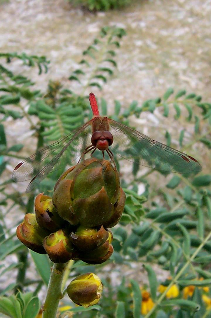 Red Dragonfly by BeestOBurden