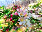 Malus floribunda #2 by BadSkys