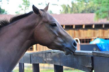Chestnut Quarter Horse Headshot by Sheltiegirl17