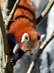 Red Panda by suphafly